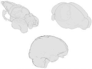 BrainGlobe Atlas API paper is published
